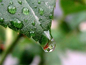Rain Drops on a rose leave - 19 JUN 2006