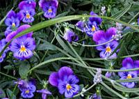 Flower bed at Teaism (Dupont Circle) - 27 MAY 06